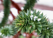 Monkey tree. Branch (araucaria) under the snow Stock Photos