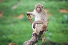 Funny baboon monkey. A Funny baboon monkey focus at something royalty free stock photography