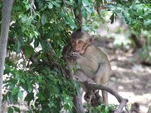 Monkey on the tree. The monkey on the tree Royalty Free Stock Photo