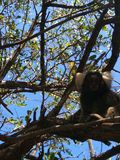 Monkey. On a tree Royalty Free Stock Photography