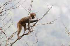 Monkey on tree Royalty Free Stock Photos