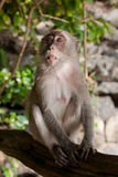 MONKEY ON A TREE Stock Photography
