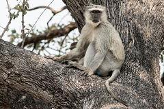 Monkey on a tree Stock Images
