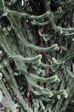 Monkey tree, Araucaria araucana. London, spring Stock Image