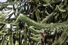 Monkey tree, Araucaria araucana Royalty Free Stock Images
