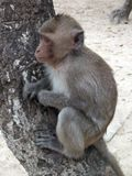 Monkey on a tree on the beach. royalty free stock photo