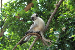 Monkey In A Tree. Stock Images