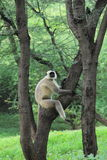 Monkey In A Tree. Stock Photography