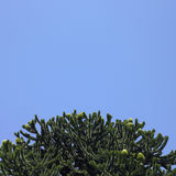 Monkey Tree. And blue sky Royalty Free Stock Photography