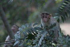 Monkey on a tree. A monkey on a tree branch stock photos