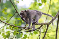 Monkey on tree branch in Ubud forest, Bali Royalty Free Stock Photography