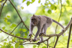 Monkey on tree branch in Ubud forest, Bali Royalty Free Stock Photo