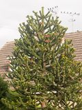 Monkey tree branches with leaves outside house in garden royalty free stock photography
