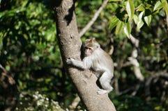 Monkey on tree. Monkey climbing tree in jungle surroundings Royalty Free Stock Photo