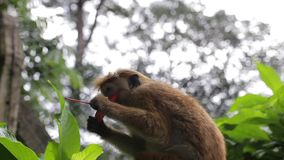 Monkey on a tree close-up.  stock video footage