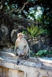 Macaque monkey in Monkey Forest. Stock Images