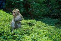 Monkey on the tree Royalty Free Stock Photo