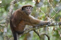 Monkey. At tree in a forest Royalty Free Stock Photo