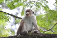 Monkey at a Tree. In a Forest in Sri Lanka Royalty Free Stock Images