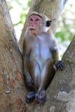 Monkey on tree Stock Photography