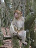 Monkey on a tree II stock photos