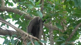 Monkey on a tree in the jungle. Of Sri Lanka stock video
