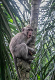 Monkey in a tree. Long-tailed Macaque climbing a tree, Monkey Forest, Ubud, Bali Royalty Free Stock Images