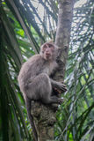 Monkey in a tree. Long-tailed Macaque climbing a tree, Monkey Forest, Ubud, Bali Royalty Free Stock Photo