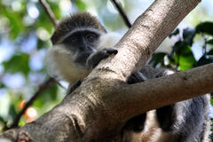 Monkey in a tree Royalty Free Stock Images