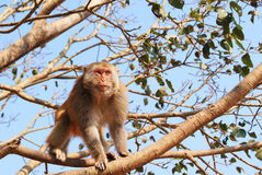 Monkey on tree. Monkey on the tree and looking at camera Stock Image