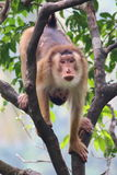 Monkey. On tree looking forward stock images