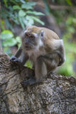 Monkey on the tree in Malaysian jungle Stock Images