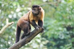 Monkey on a tree Royalty Free Stock Photos