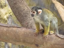 Monkey In Tree. Money Sitting In Tree At The Zoo Stock Photography