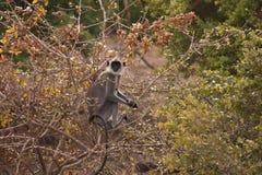 Monkey in tree. One monkey sat in a tree Stock Photography
