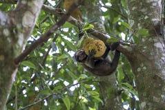 Monkey in the tree of Rio de Janeiro Brazil. Tijuca forest Royalty Free Stock Photos
