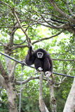 Monkey on tree with ropes Stock Image