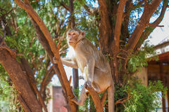 Monkey on the tree Royalty Free Stock Photos