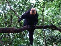 White-faced saki monkey on the tree. royalty free stock photos