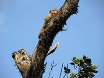 Monkey on the tree Stock Images