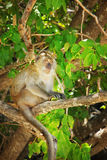 Monkey on the tree Royalty Free Stock Photography