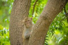 Monkey on tree Royalty Free Stock Image