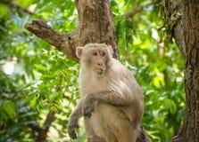 Monkey on tree Royalty Free Stock Photos