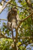 Monkey in tree Royalty Free Stock Photos
