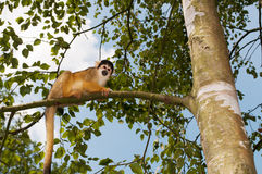 Monkey in a tree Royalty Free Stock Photography