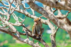 Monkey on the tree Stock Photography