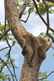 Monkey on a tree, Thailand Stock Photography