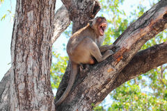 Monkey. In a tree,Thailand royalty free stock images