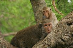 Monkey on tree. In thailand Stock Images