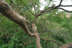 Monkey on tree. In thailand Royalty Free Stock Images